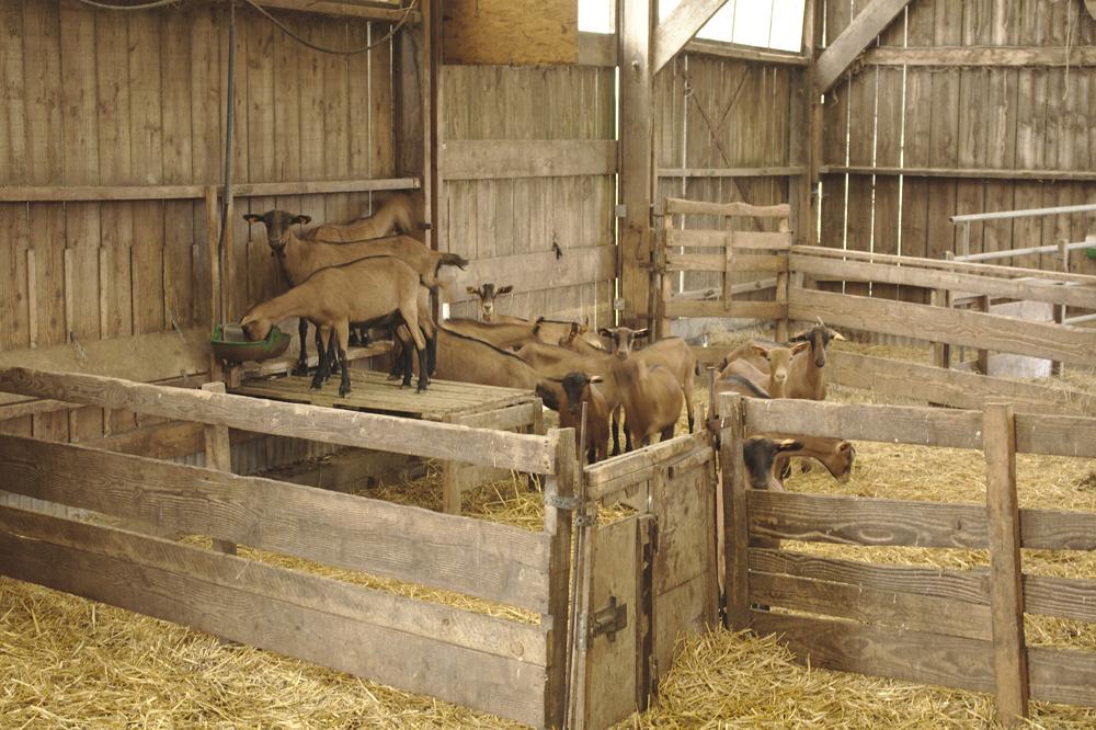 Chèvres dans leur étable