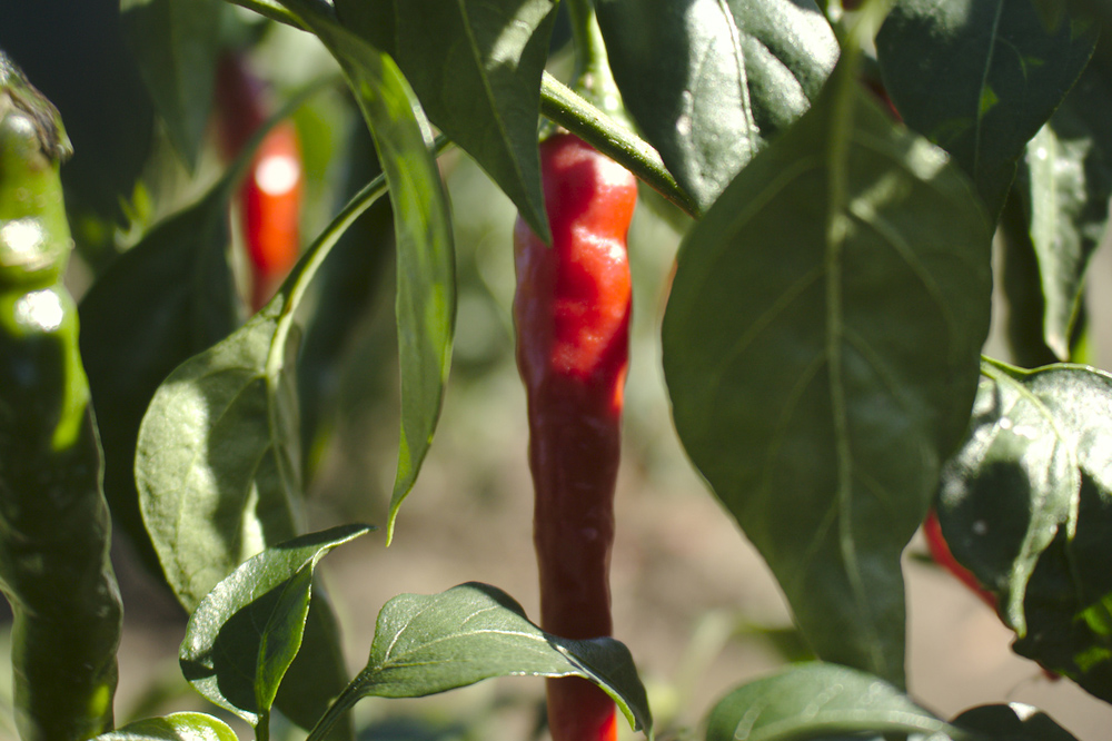 Piment au Jardin du Grand Duc